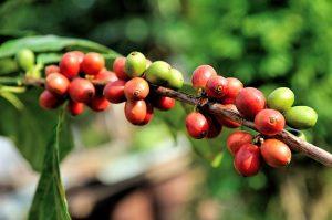 koffievruchten
